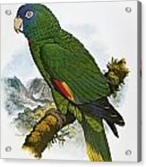 Red-necked Amazon Parrot Acrylic Print