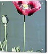 Red Opium Poppy Acrylic Print