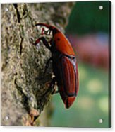 Red Palm Weevil Acrylic Print
