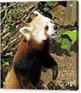 Red Panda Feeding Time Acrylic Print