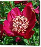 Red Peony Flowers Series 2 Acrylic Print