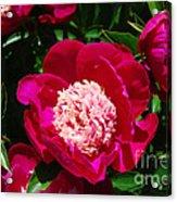 Red Peony Flowers Series 3 Acrylic Print