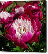 Red Peony Flowers Series 4 Acrylic Print