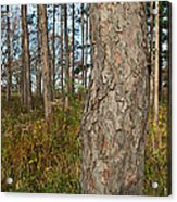 Red Pine Forest Acrylic Print