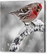 Red Poll - Cold But Hungry Acrylic Print
