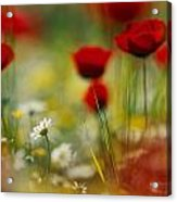 Red Poppies And Small Daisies Bloom Acrylic Print