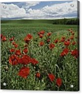 Red Poppies Edge A Field Near Moscow Acrylic Print