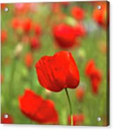 Red Poppies In Cornfield Acrylic Print
