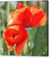 Red Poppies In Sunlight Acrylic Print