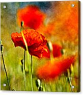 Red Poppy Flowers 01 Acrylic Print