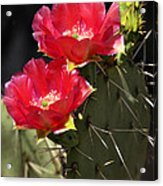 Red Prickly Pear Cactus  Acrylic Print