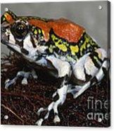 Red Rain Frog Acrylic Print