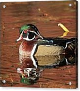 Red Reflection Of A Wood Duck Acrylic Print