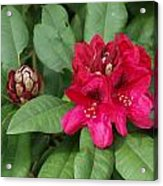 Red Rhododendron Blossom Acrylic Print