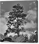 Red Rock Pine Acrylic Print