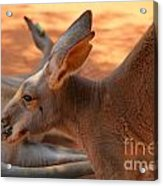 Red Roos Acrylic Print