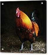 Red Rooster Acrylic Print