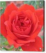 Red Rose 2  Acrylic Print