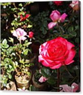 Red Rose In The Market Acrylic Print
