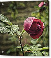 Red Rose In Water Drops Acrylic Print