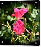 Red Rose Vignette Acrylic Print