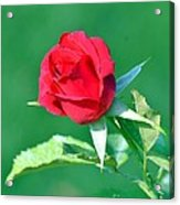 Red Rose With Star-shaped Collar Acrylic Print