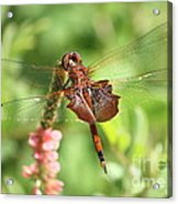 Red Saddlebag Dragonfly In The Marsh Acrylic Print