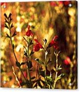 Red Salvia Acrylic Print
