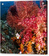 Red Sea Fan And Soft Coral In Raja Acrylic Print