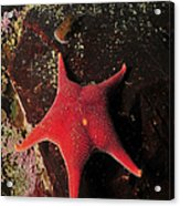 Red Sea Star And Limpet On Brown Rock Acrylic Print