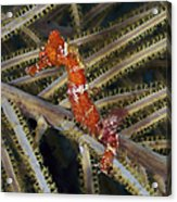 Red Seahorse On Caribbean Reef Acrylic Print