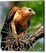 Red-shouldered Hawk With Breakfast Acrylic Print