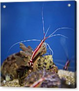 Red Shrimp Acrylic Print