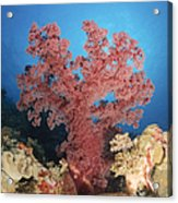 Red Soft Coral,  Australia Acrylic Print