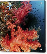 Red Soft Corals And Blue Leather Sea Acrylic Print