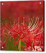 Red Spider Lily-1 Acrylic Print