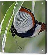 Red Spot Diadem Butterfly Acrylic Print