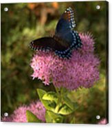 Red Spotted Purple Butterfly On Sedum Acrylic Print