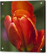 Red Spring Blooming Tulip Acrylic Print