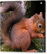 Red Squirrel Acrylic Print