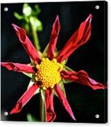 Red Star Dahlia Acrylic Print