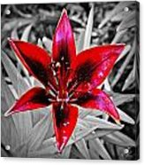 Red Star Lily Acrylic Print