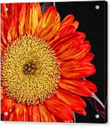 Red Sunflower II  Acrylic Print