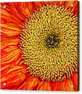 Red Sunflower Iv Acrylic Print