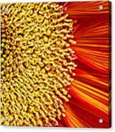 Red Sunflower Viiii Acrylic Print