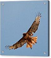 Red Tail Hawk 202-3 Acrylic Print