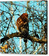 Red Tail Hawk Visitor Acrylic Print