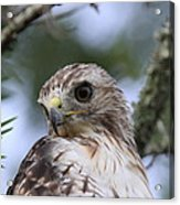 Red-tailed Hawk Has Superior Vision Acrylic Print