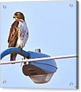 Red-tailed Hawk Perched Acrylic Print