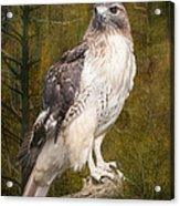 Red Tailed Hawk Perched On A Branch In The Woodlands Acrylic Print